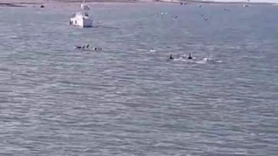 Los delfines regresan a Ayamonte