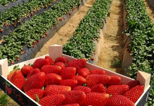 Huelva atesora el 97,5% de la producción nacional de los frutos rojos