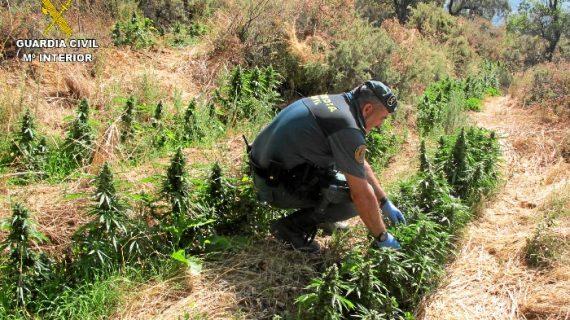 Localizada en una finca de Almonaster la Real una gran plantación de marihuana