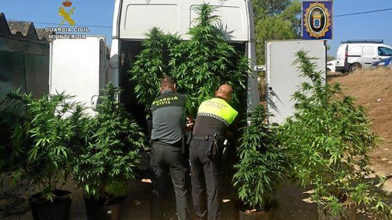 Intervenidas tres plantaciones de cannabis en Valverde del Camino