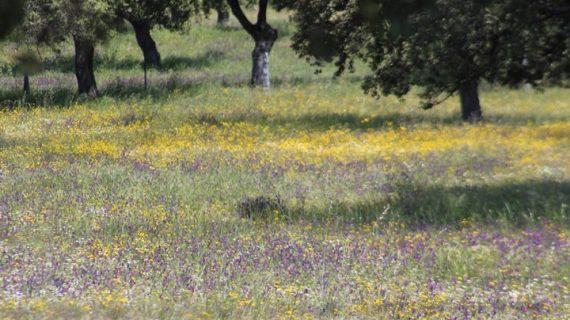 Aprobada una ayuda para la conservación y la mejora de los pastos en las dehesas