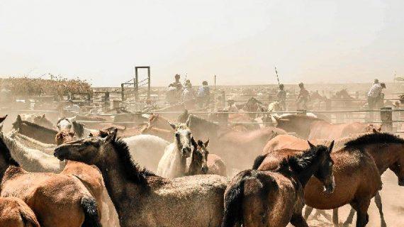La Recogida de las Yeguas de Hinojos inicia su recorrido camino a su pueblo condal