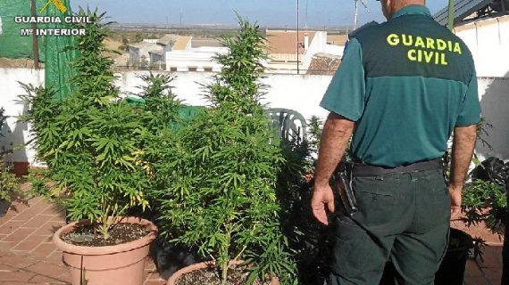Intervenidas diversas plantas de marihuana en la localidad de Manzanilla