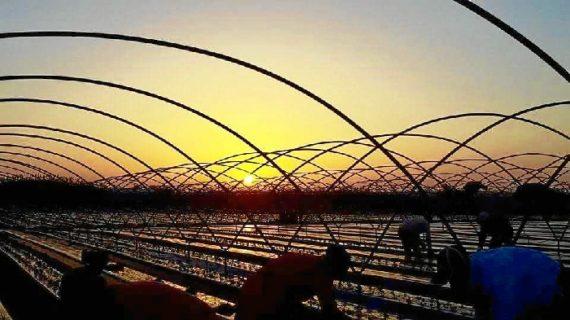 La plantación de la fresa en Huelva generará 10.000 empleos