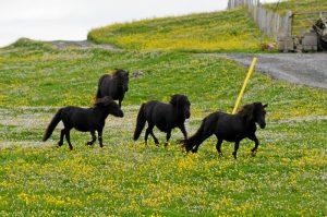 El poni de las Shetland es una de las razas de poni más pequeñas que existen. El archipiélado cuenta con una importante población de este animal.