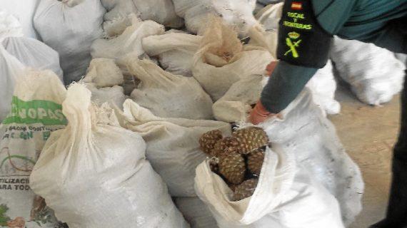 La Guardia Civil interviene una gran cantidad de piñas de pino piñonero en el Espacio Natural de Doñana