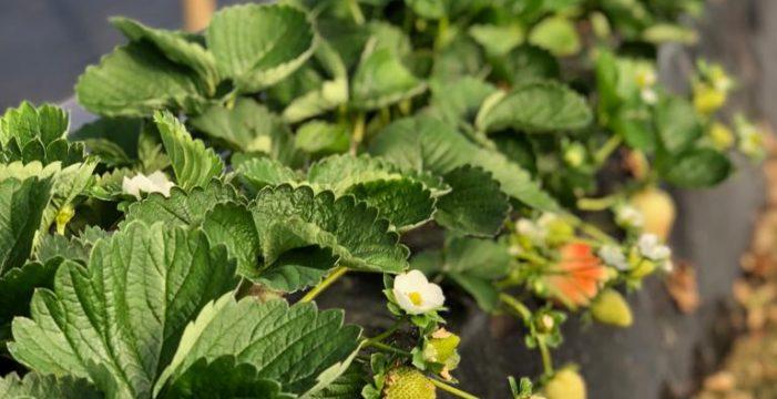 Fruta de Andalucía apuesta por la inversión en I+D para obtener fresas durante nueve meses al año