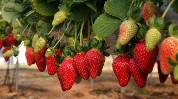 La agricultura onubense apuesta por el mercado internacional