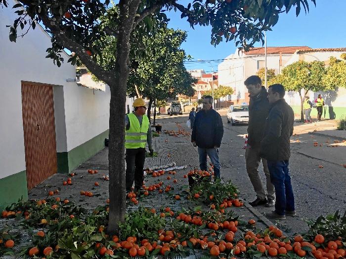 Valverde contrata a 24 trabajadores del Plan de Empleo Verde para la recogida de naranjas