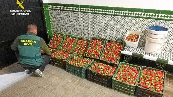 Recuperados 226 kilos de fresas que habían sido hurtadas en una finca de Niebla