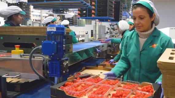 Una comercializadora de frutos rojos lidera los mercados europeos desde Huelva