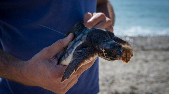 Huelva y Cádiz son las pronvincias andaluzas que más varamientos de tortugas marinas reciben