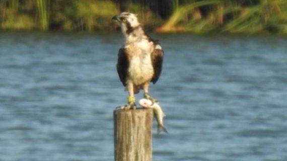 La Fundación Cepsa celebra el éxito de la reintroducción del Aguila Pescadora en la Laguna Primera de Palos
