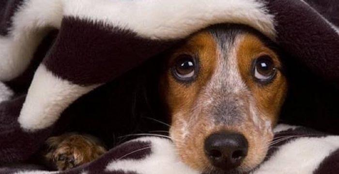 Una terapia para reducir el temor de los perros a los petardos ante las próximas fiestas navideñas