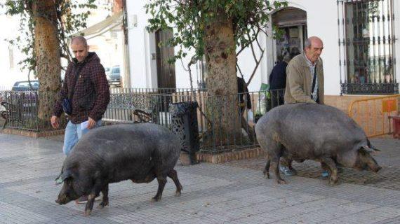 Los Cochinos del Santo anuncian las Fiestas de San Antonio Abad en Trigueros