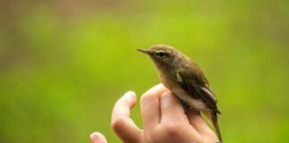 Niño con pájaro en anillamiento